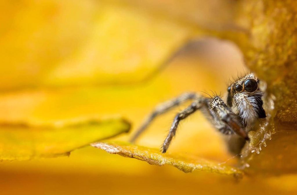 A small jumping spider peeps out from the edge of a leaf.