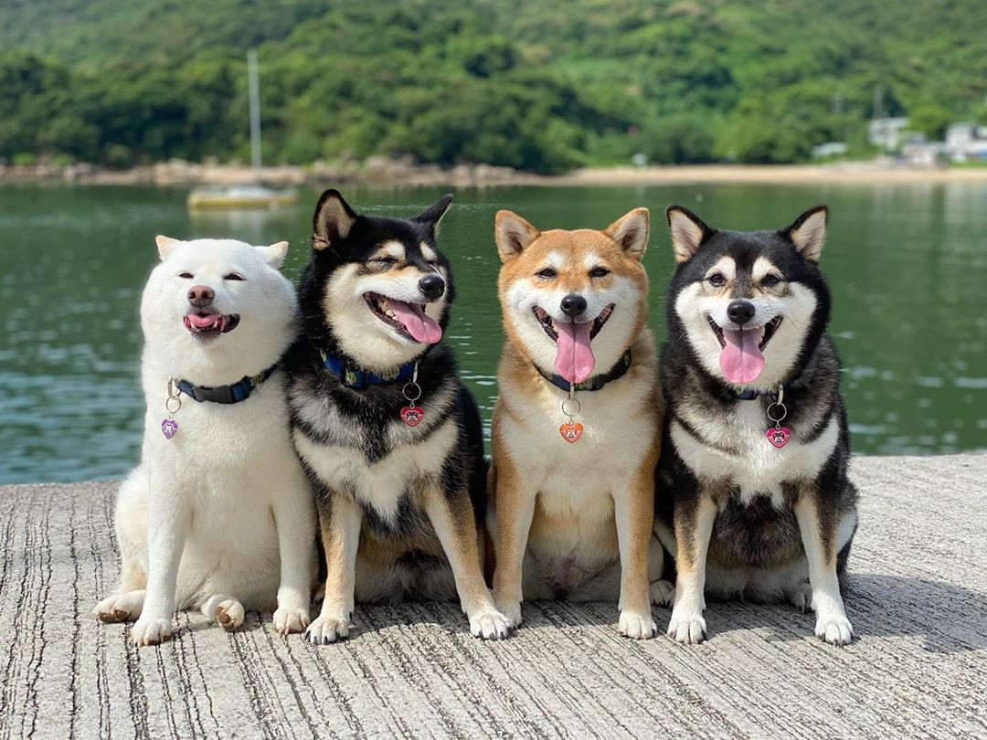 The four dogs pose together on a dock, Hina is to the left looking off into the distance with her tongue out in a funny way
