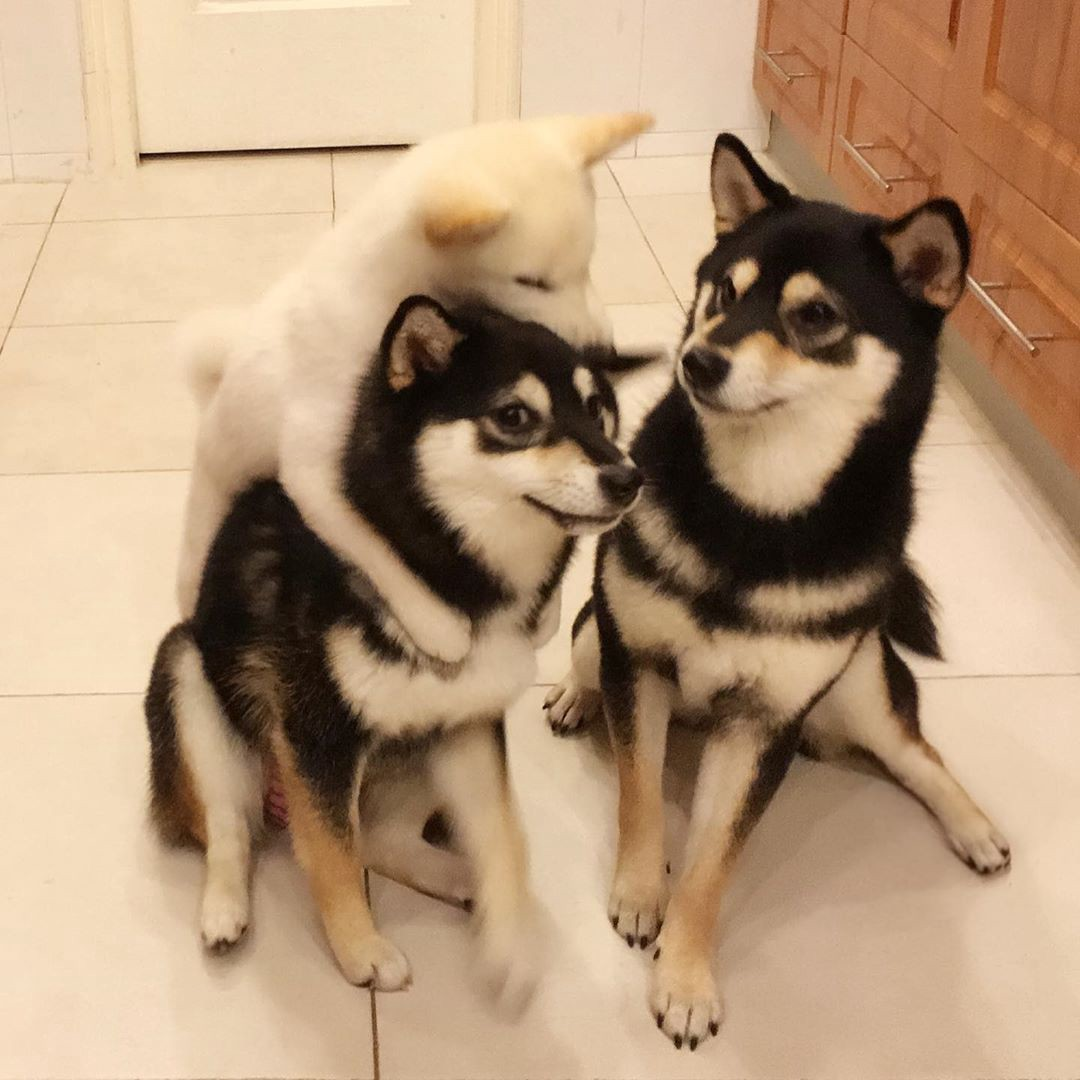 Two shiba inu dogs with matching coloring pose together, but are interrupted by a backwards bear-hugging Hina puppy