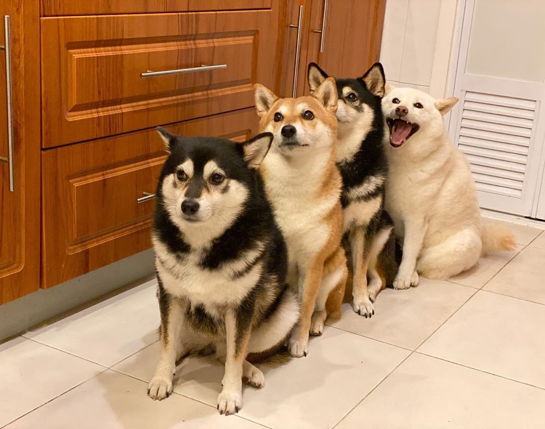 Shiba inus line up indoors, with their mouths closed. In the back, Hina, sits more relaxed with a wide open smile