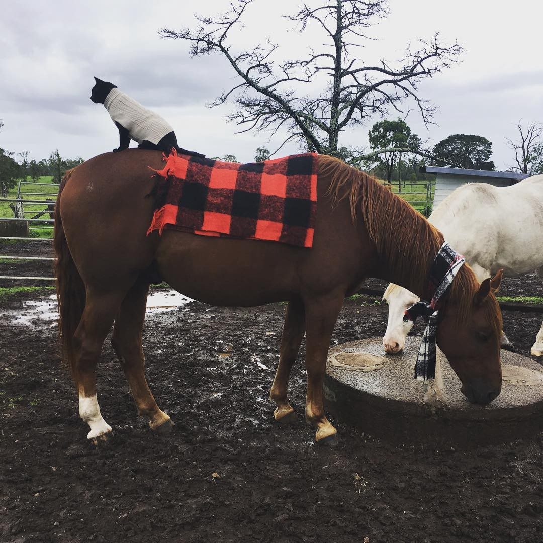 A sweatered Morris sitting on a small plaid blanket on Champy's back while Champy drinks out of a trough with another horse.