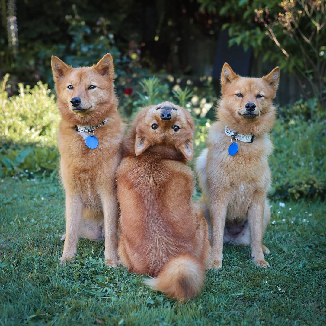 Kiko the Finnish Spitz dog poses for a photo backwards and upside-down with her sister and mother.