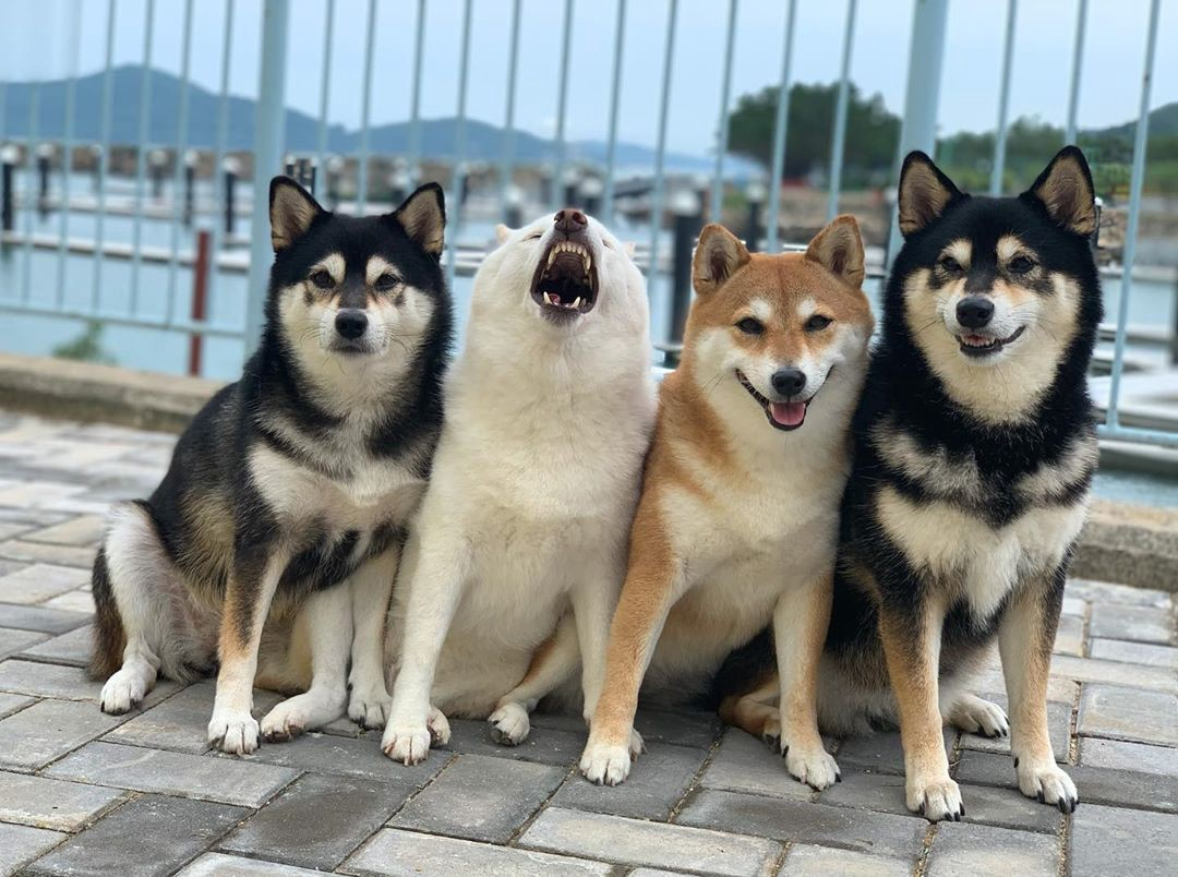 The four shiba inu dogs pose on a boat dock, and Hina is letting out a big yawn in the middle of the photo