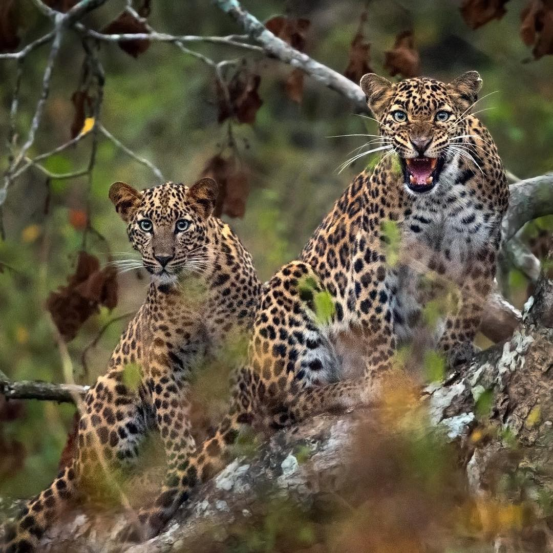 2 leopards in a tree. The one on the right is hissing, its ears held back.
