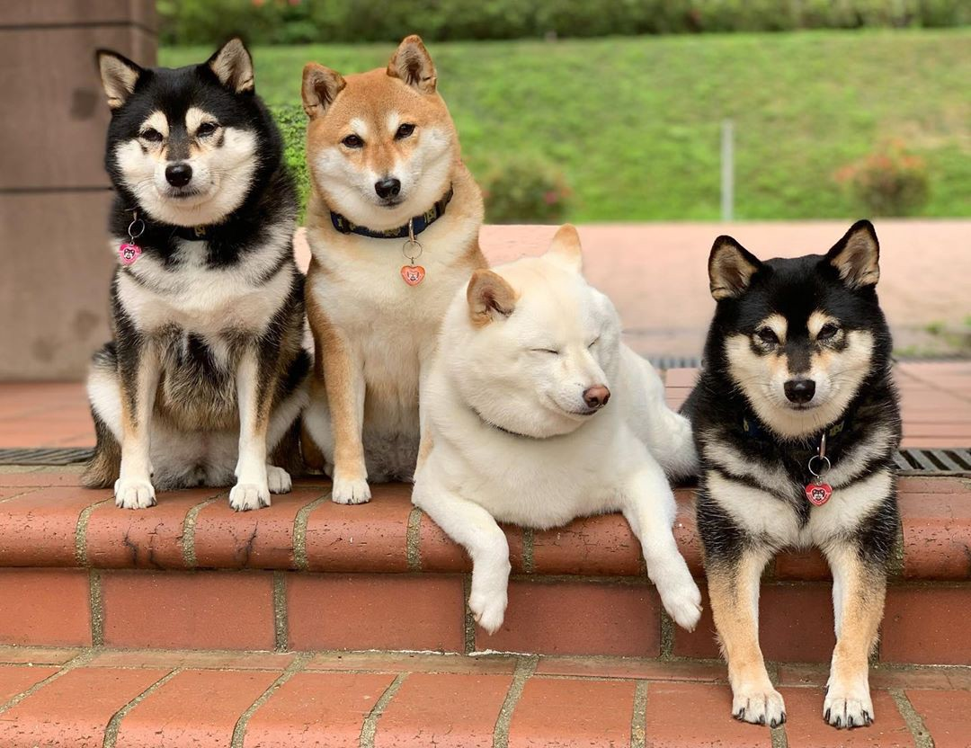 Four shiba inus pose together on steps—three have alert faces, and then Hina is closing her eyes and seems to be smiling