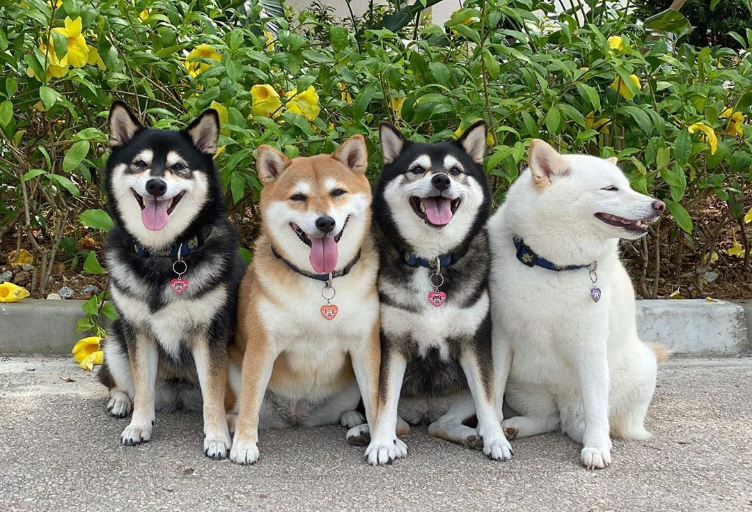 Four dogs pose together, three smiling directly at the camera, but Hina is looking off to the side