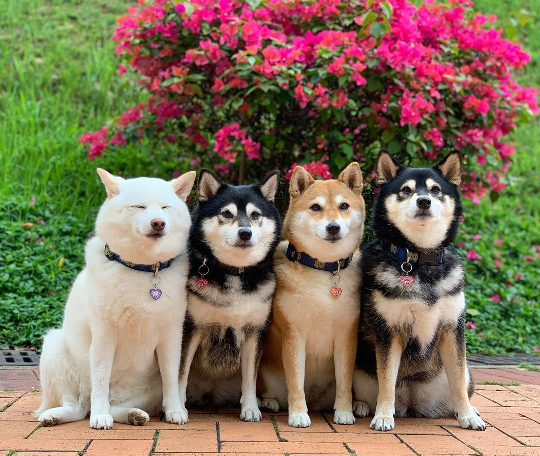 Four shiba inus pose together under some flowers—Hina's eyes are closed
