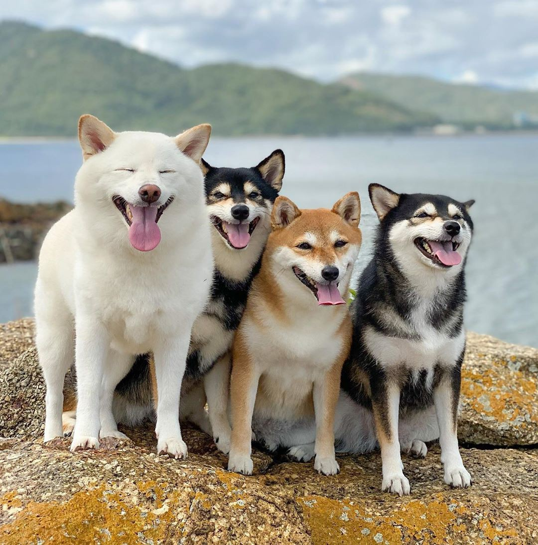 The four dogs pose in front of a body of water. Three are sitting together smiling, while Hina is standing, squinting, yawns