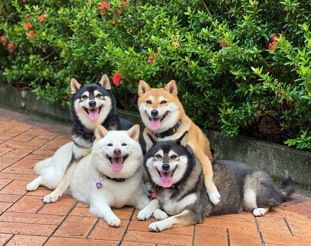 The four shiba inu dogs pose together, two with their arms slung over the others shoulders, and everyone is smiling at camera