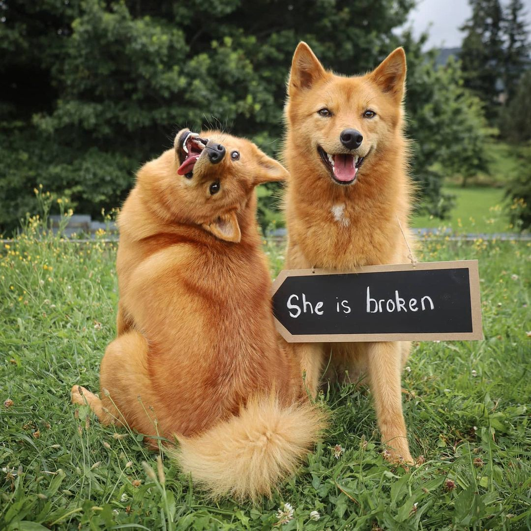 "Kiko the Finnish Spitz dog poses for a photo backwards and upside-down next to a sign that says ""She is broken."""