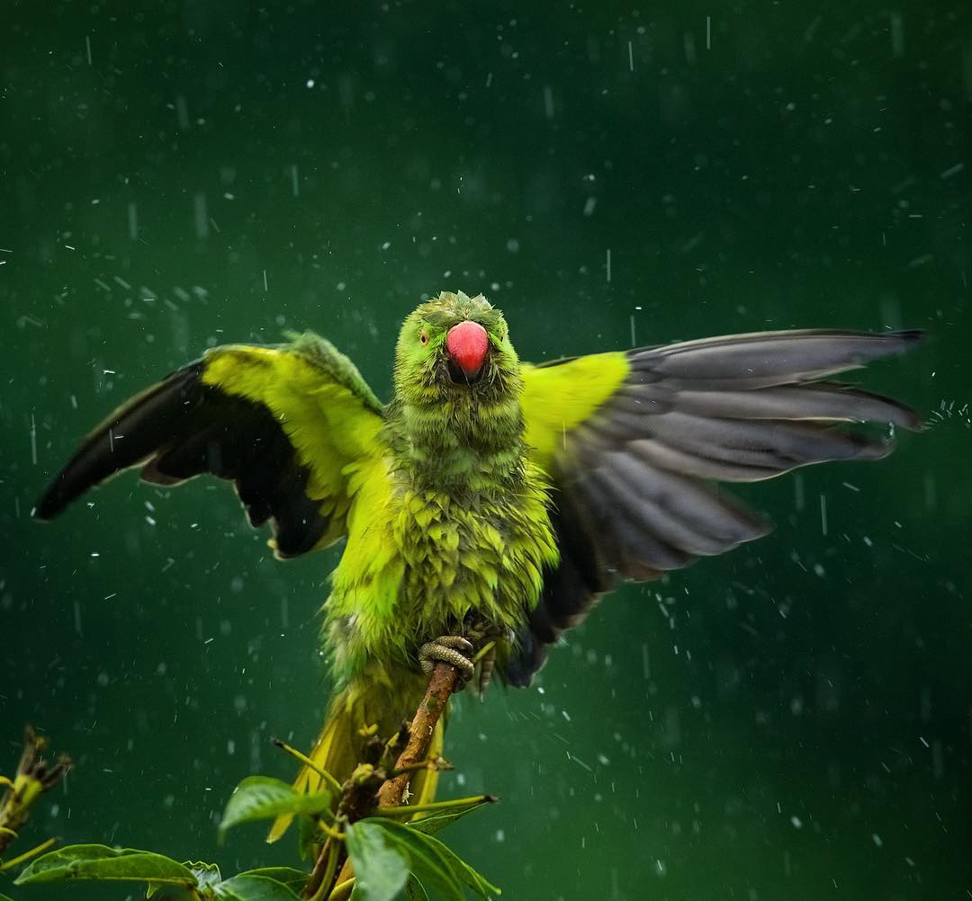 A green parakeet with black wings and a pink beak taking a bath during a storm.