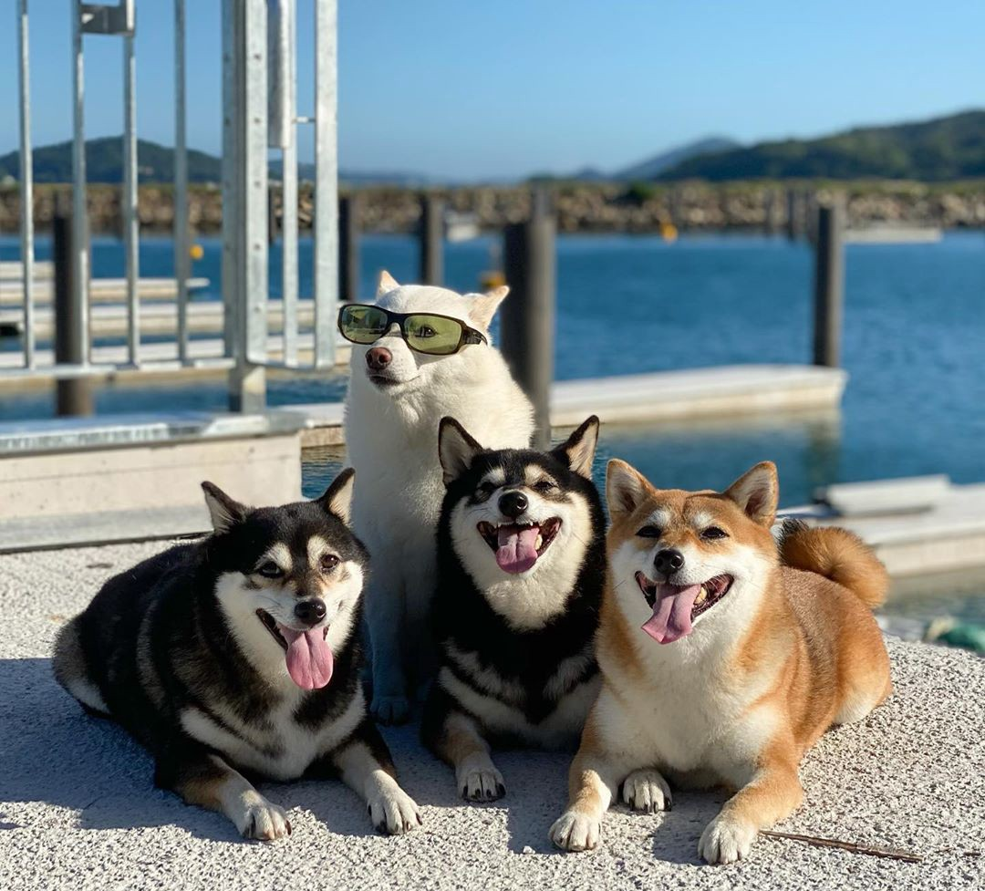The dogs pose together on a dock—three are laying down and smiling, while Hina is sitting up with green sunglasses on!