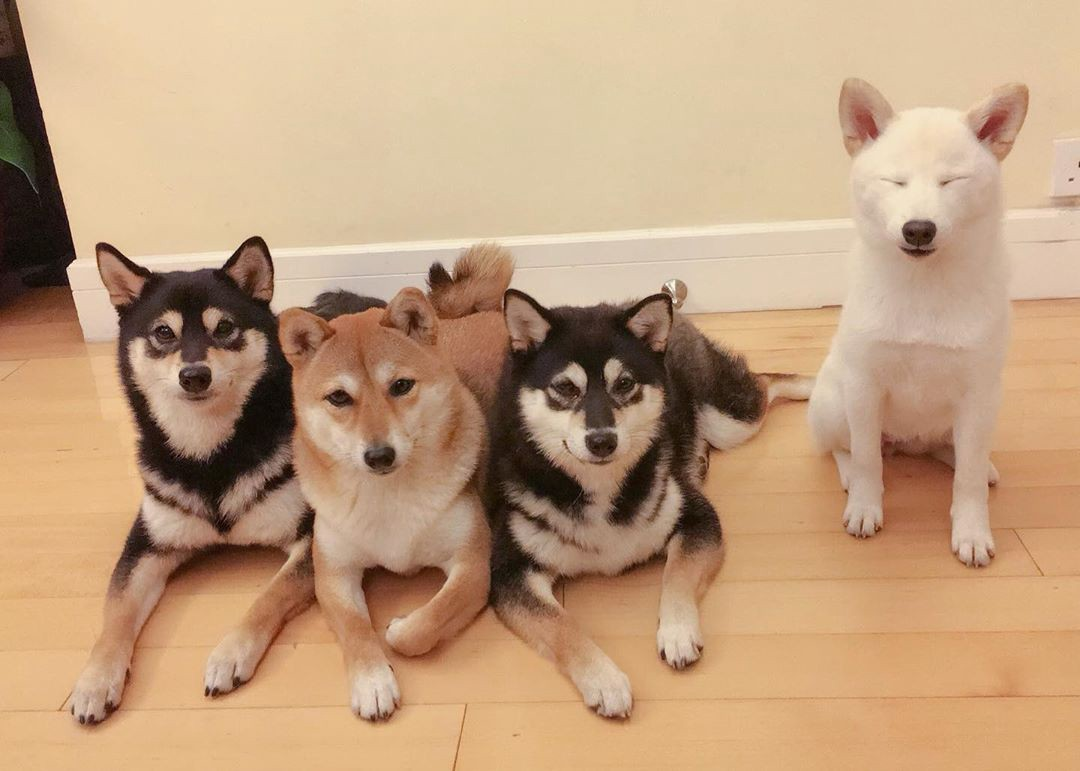 Three shiba inu dogs lay together on the floor, while Hina sits next to them with her eyes firmly closed shut