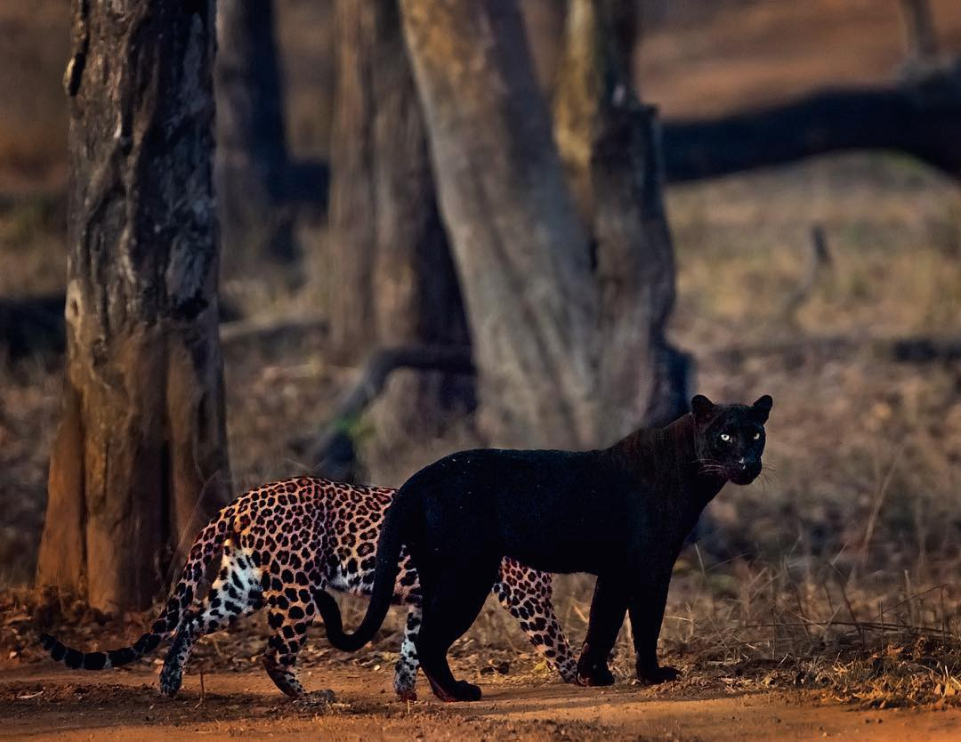 A leopard standing about a foot away from a black panther in the wild.
