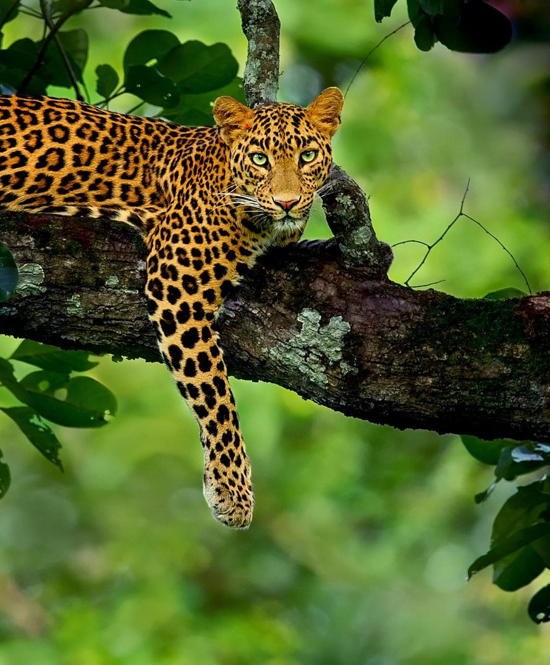 A leopard lying on a tree branch, its left paw dangling free.