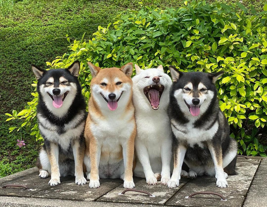 The four dogs pose together in front of greenery. Hina is in the middle with her mouth really, really wide in a big yawn