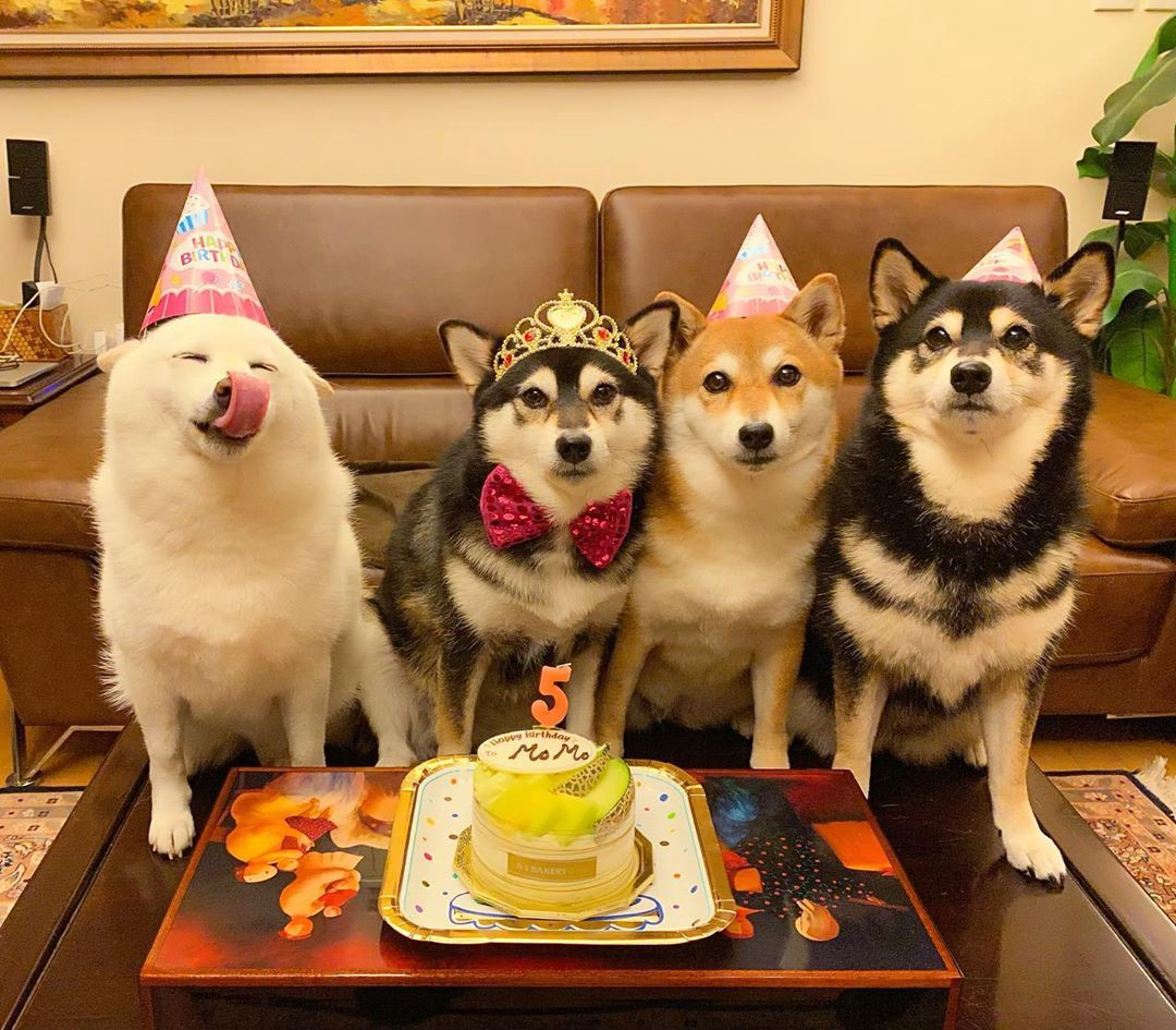 Four shiba inu dogs pose in front of a birthday cake. Three are crowded together alert, while Hina licks her own face