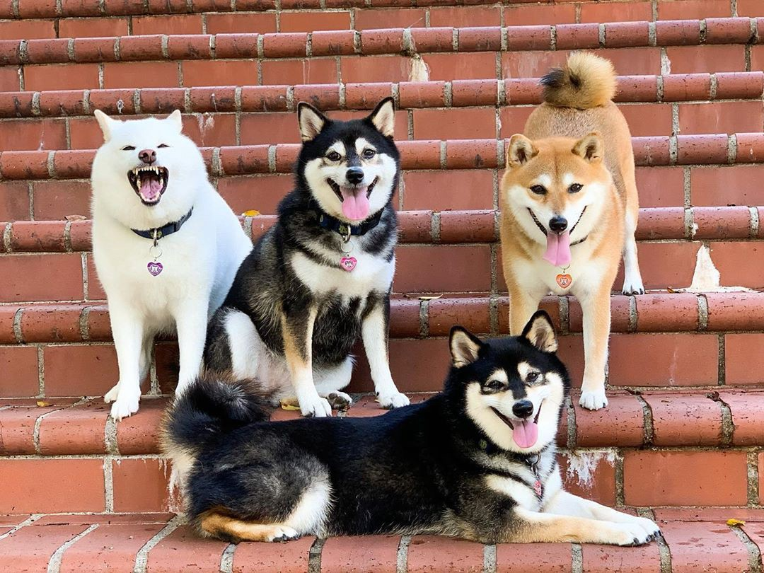 Four dogs pose in various positions on a staircase. Hina, on the left, is baring her teeth in a v slightly ferocious way