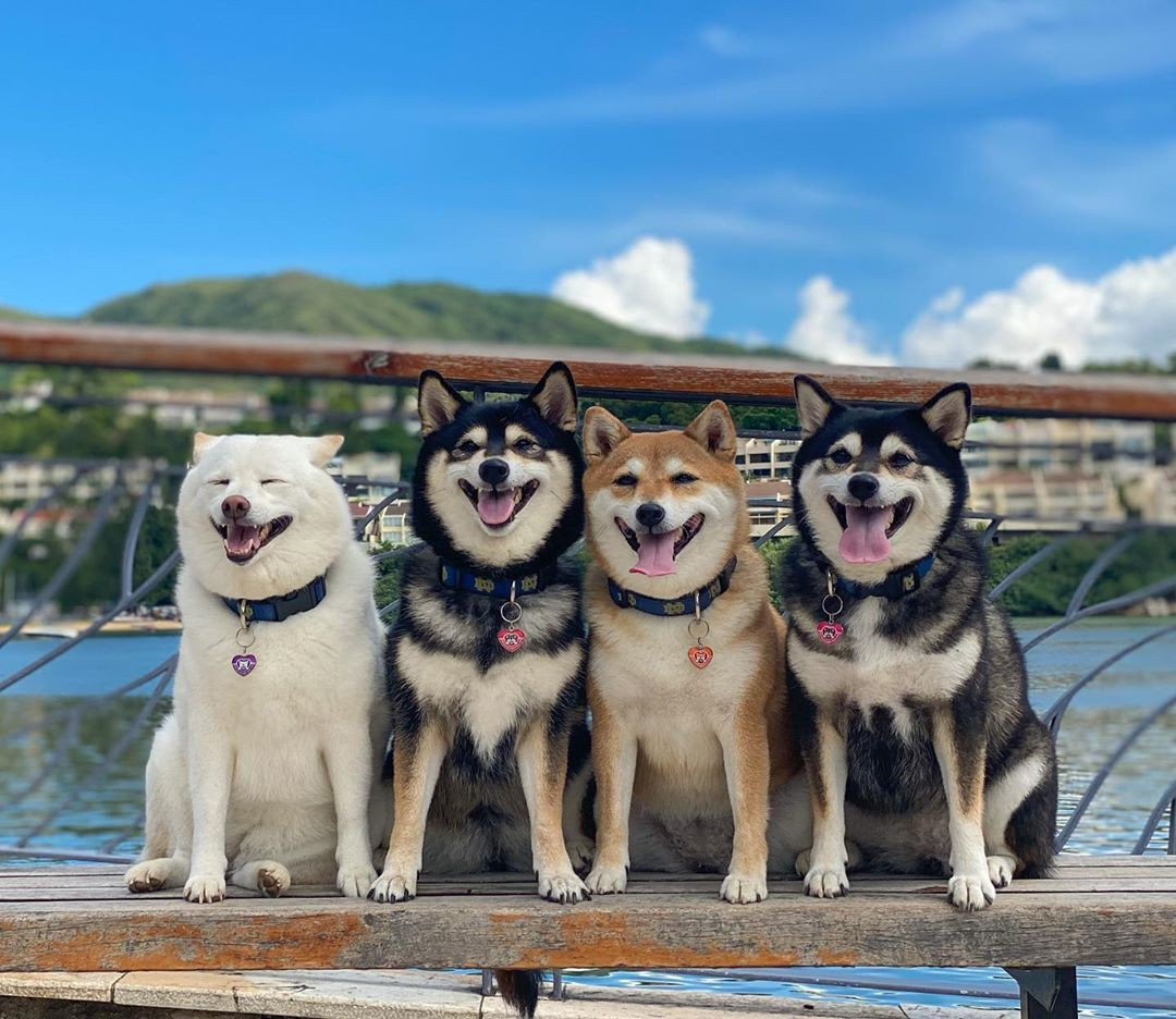 With a beautiful harbor backdrop, three of four posing dogs are smiling wide eyed at the camera, while Hina squints and yawns