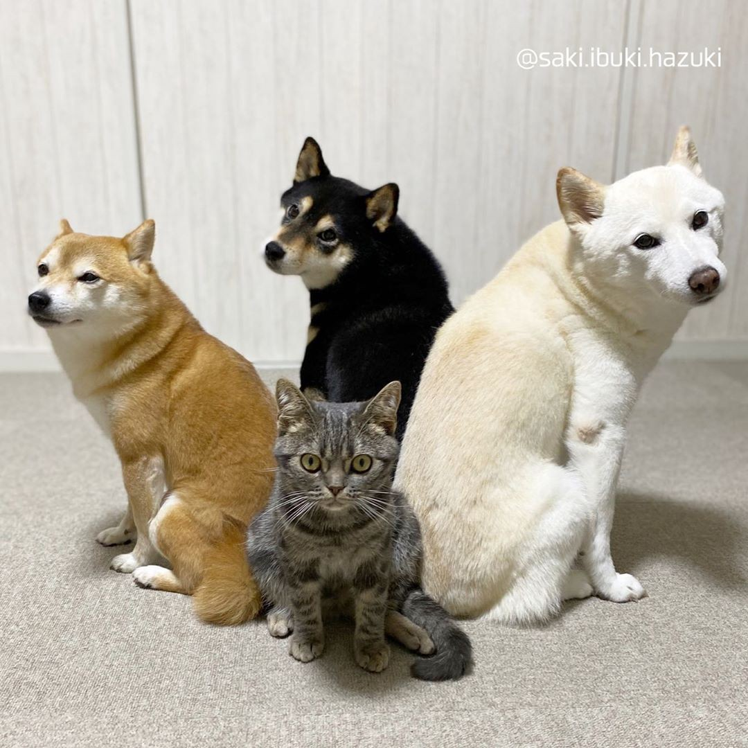 A wide-eyed tabby cat, Kiki, sits looking serious right in the middle of the frame, surrounded by three posing shiba inu dogs