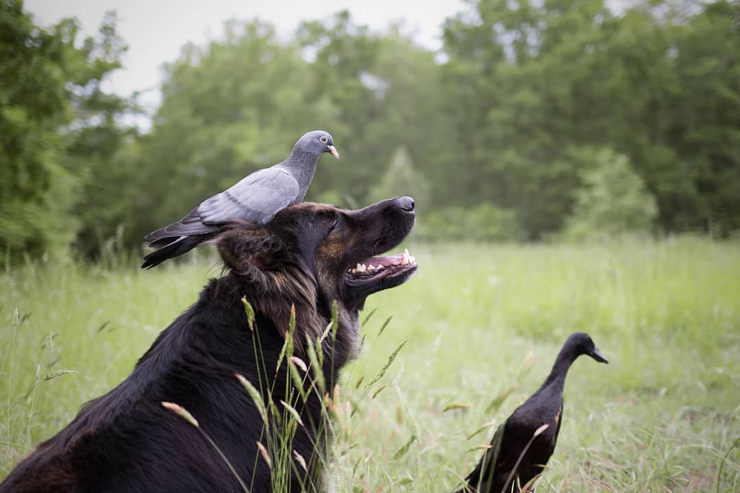 Vendetta (dog) and Lemony (duck) are friends. Here they are joined by a pigeon.