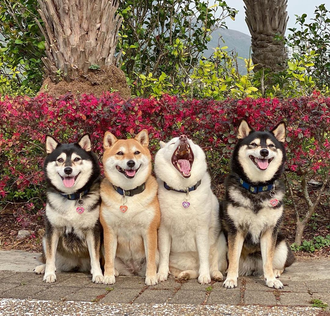 The shiba inu dogs pose in front of a flowering bush—and Hina lets out a biiiiiig yawn right in the middle of the photo