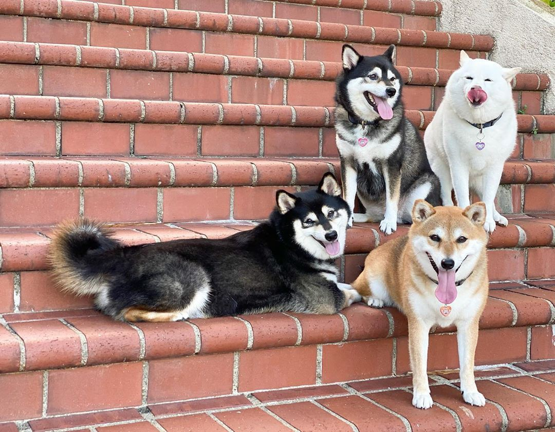 The dog's pose in different cute poses on a set of stairs, but Hina is captured mid-tongue-on-nose