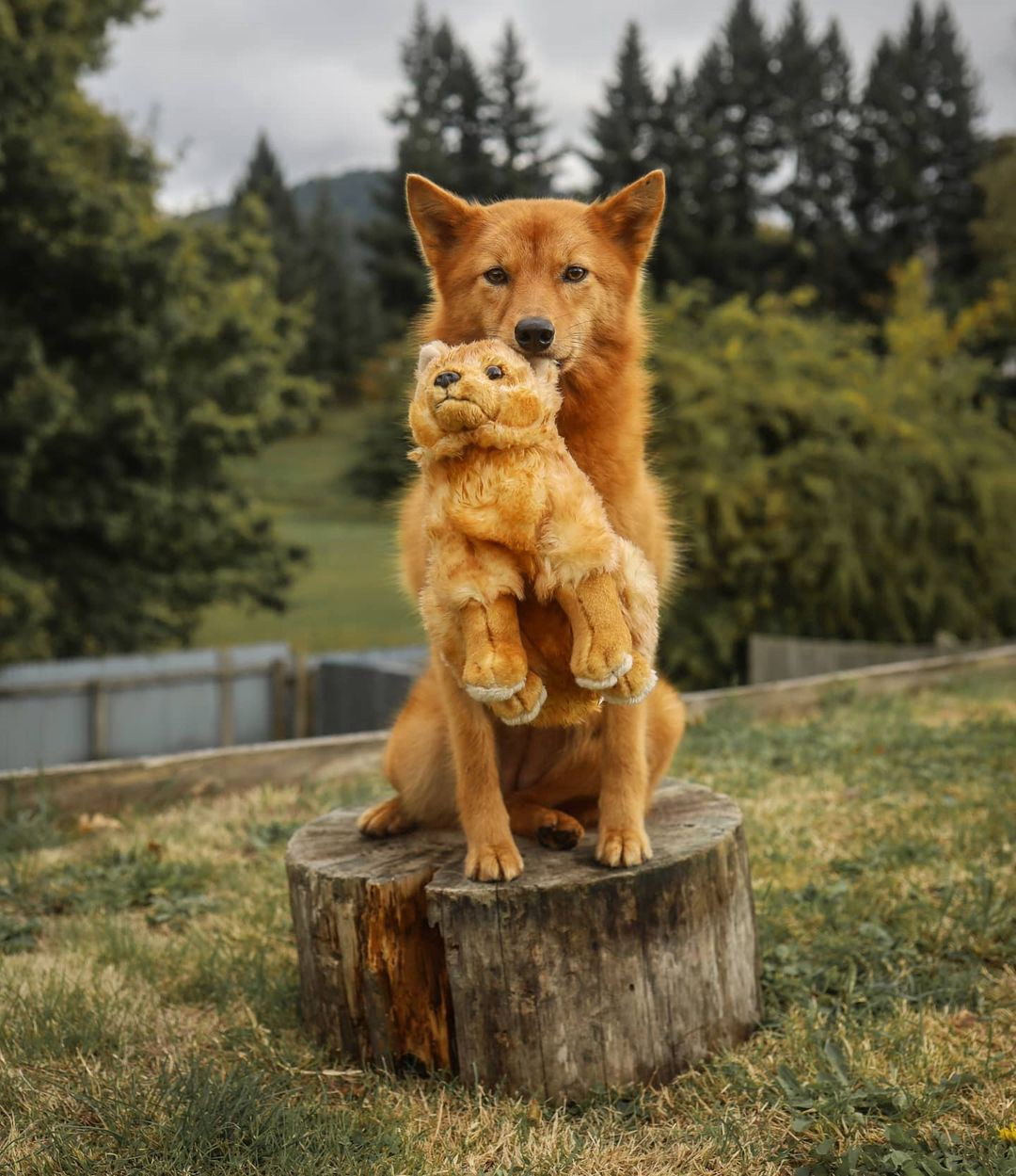 Tofu the Finnish Spitz dog poses for a photo with a favorite toy.