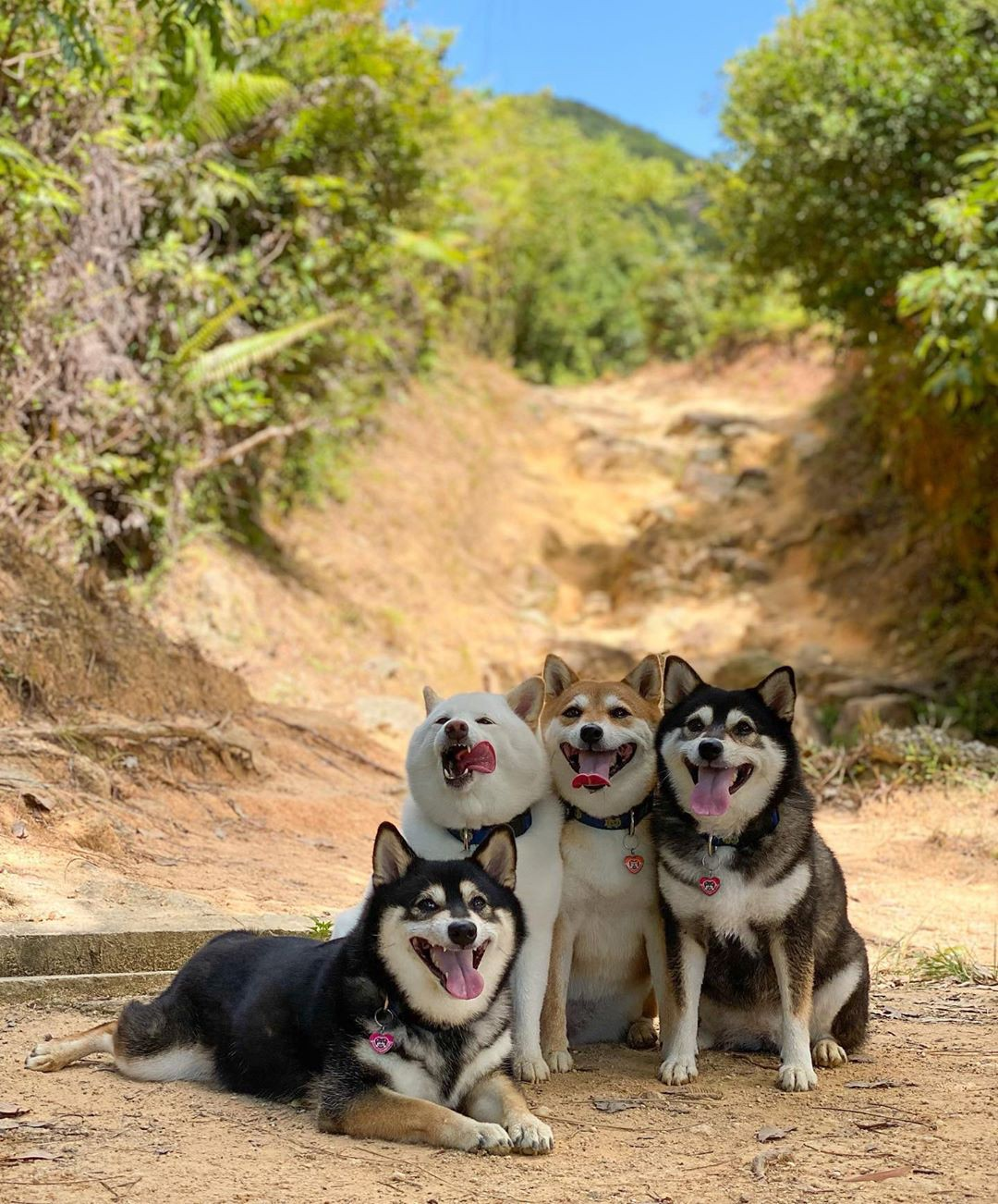 The dogs pose on a hiking trail with their tongues out in the sun, but Hina's tongue is rolling out of the side of her mouth