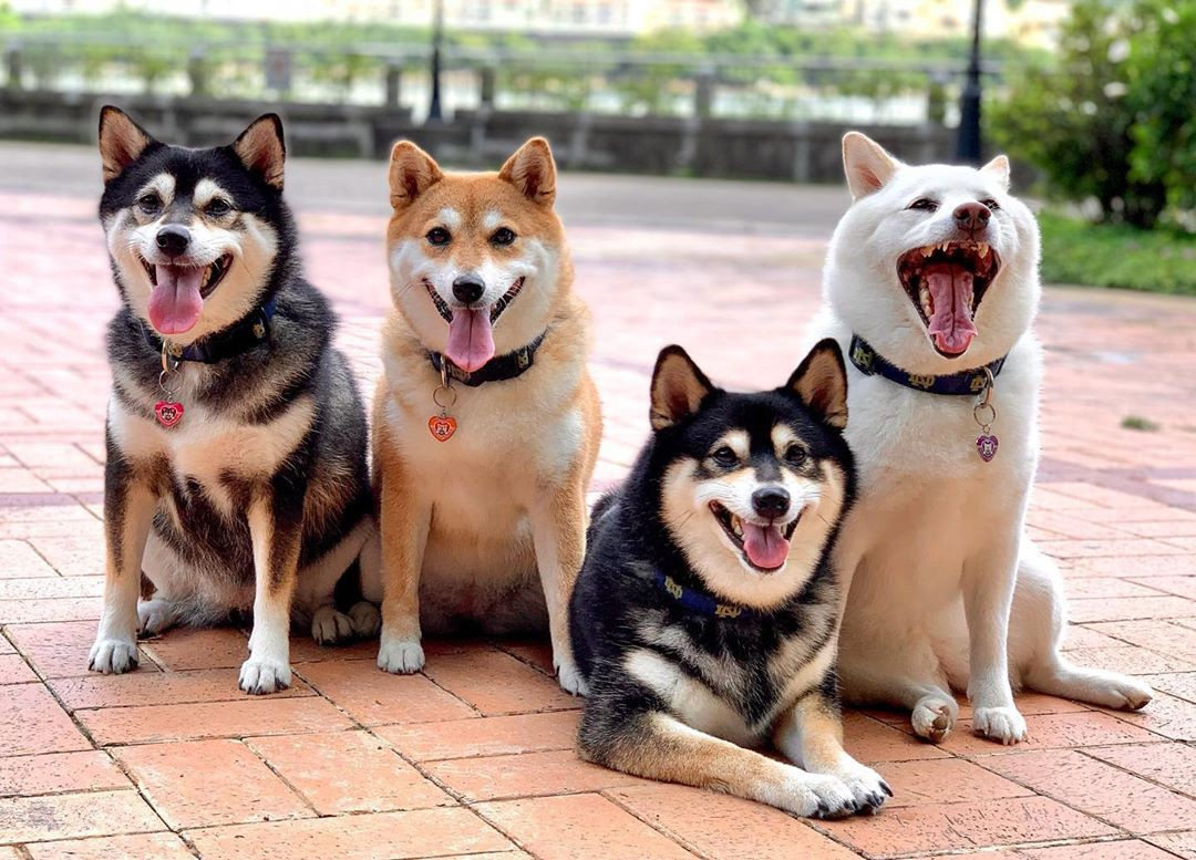 Four dogs pose on red brick. Three of the dogs are smiling towards the camera, while all-white Hina yawns/smiles much larger