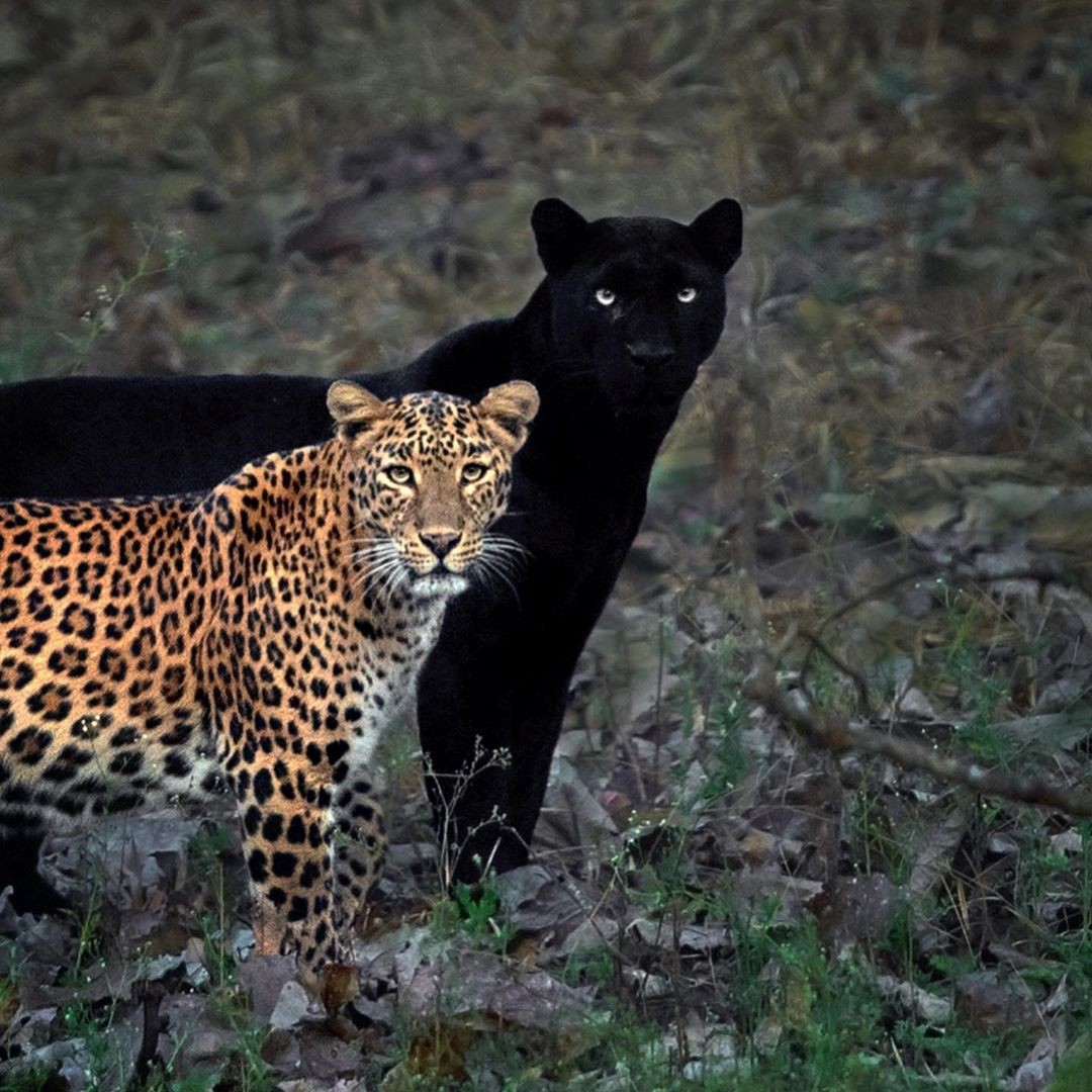 Another shot of a leopard standing about a foot away from a black panther in the wild.