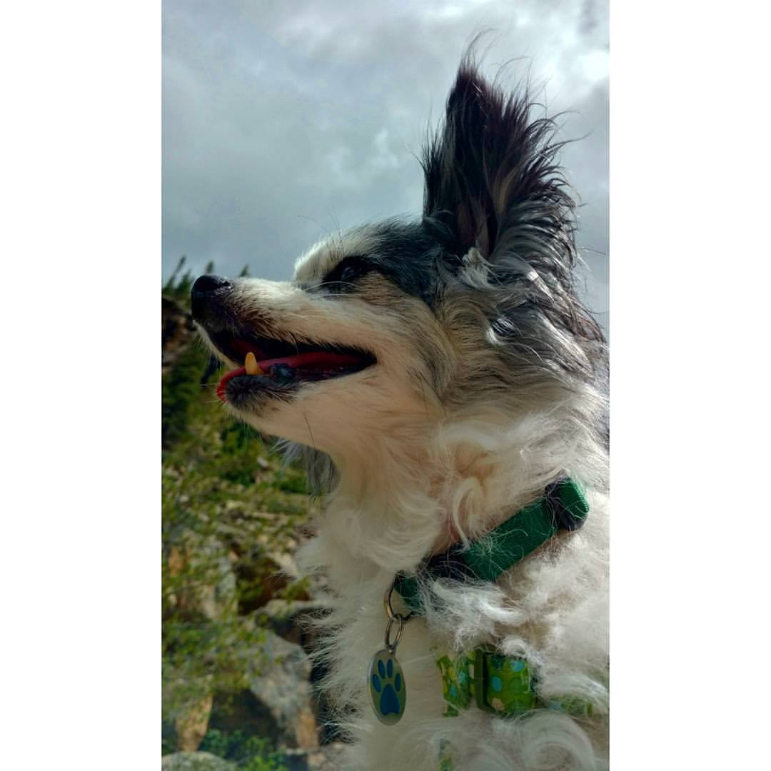 A male papillon black and white dog looks up happily in front of mountains