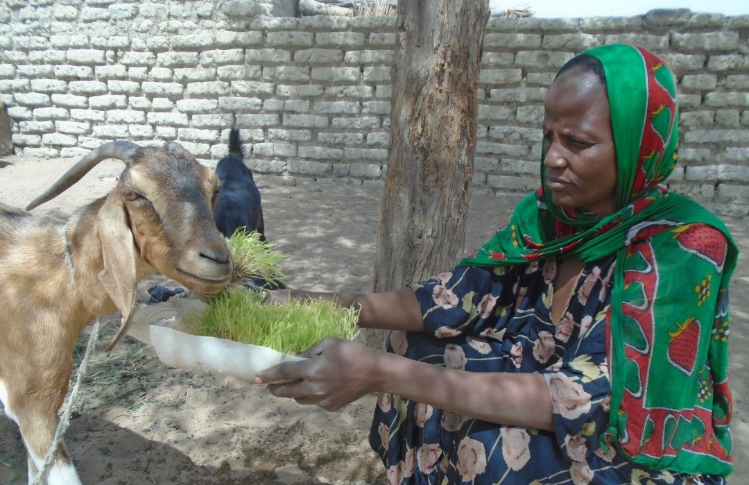 Women feeding a goat with hydroponic fodder