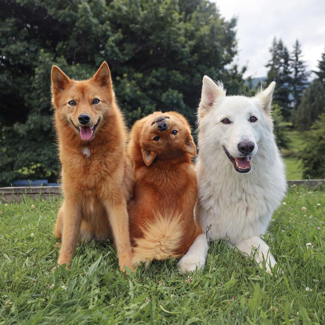 Kiko the Finnish Spitz dog poses for a photo backwards and upside-down with Tofu and Kaya.
