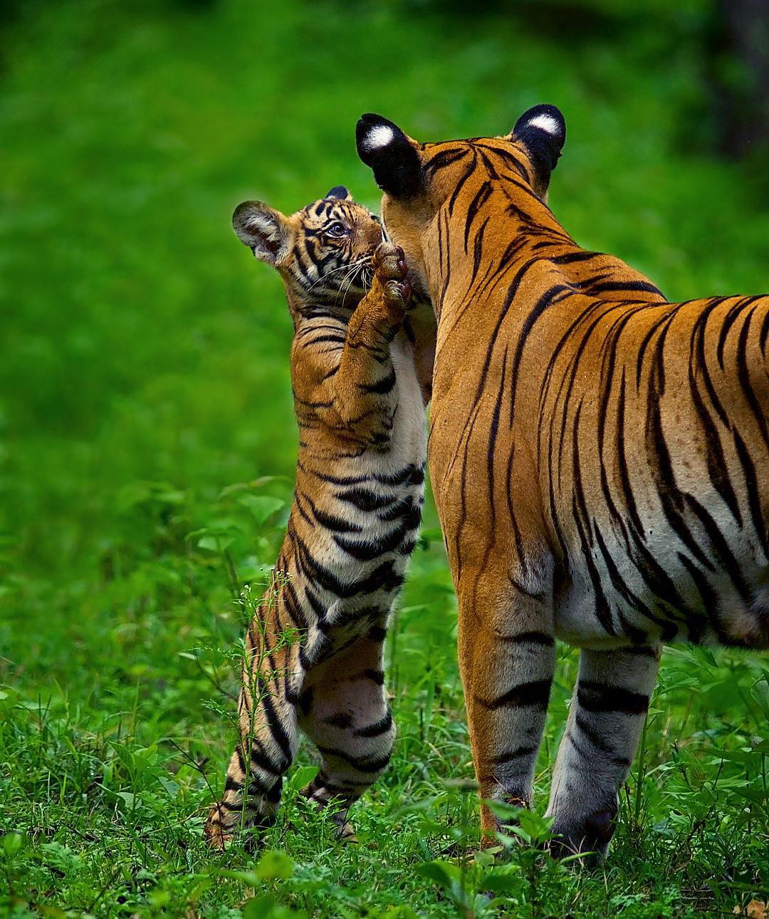 A tiger cub on its hind legs with its face close to the face of its mother.