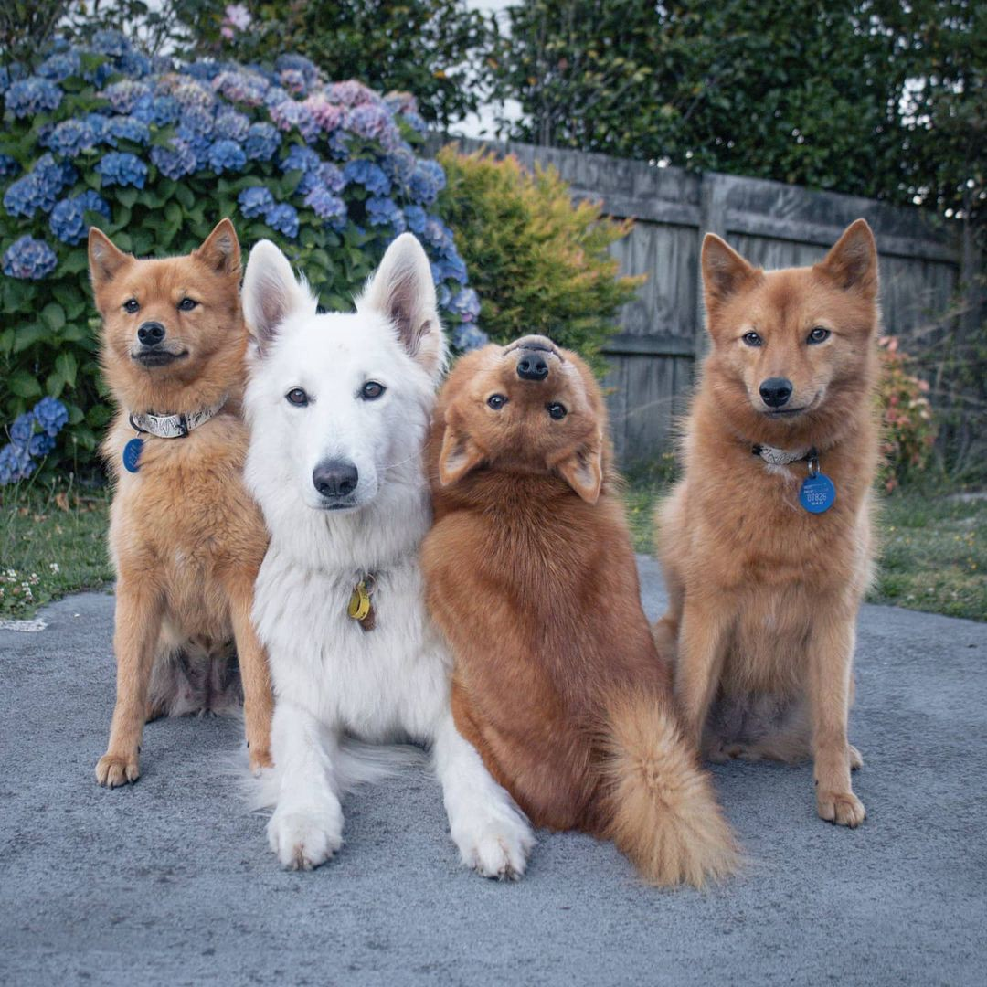 Kiko the Finnish Spitz dog poses for a photo backwards and upside-down with her family.