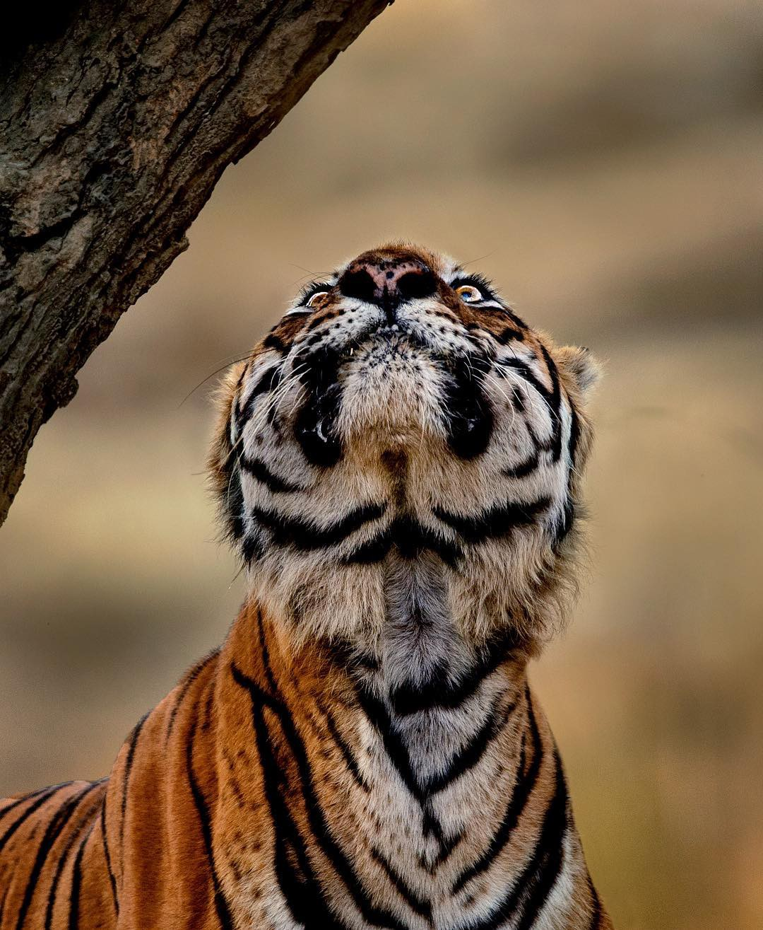 A tiger looking up.