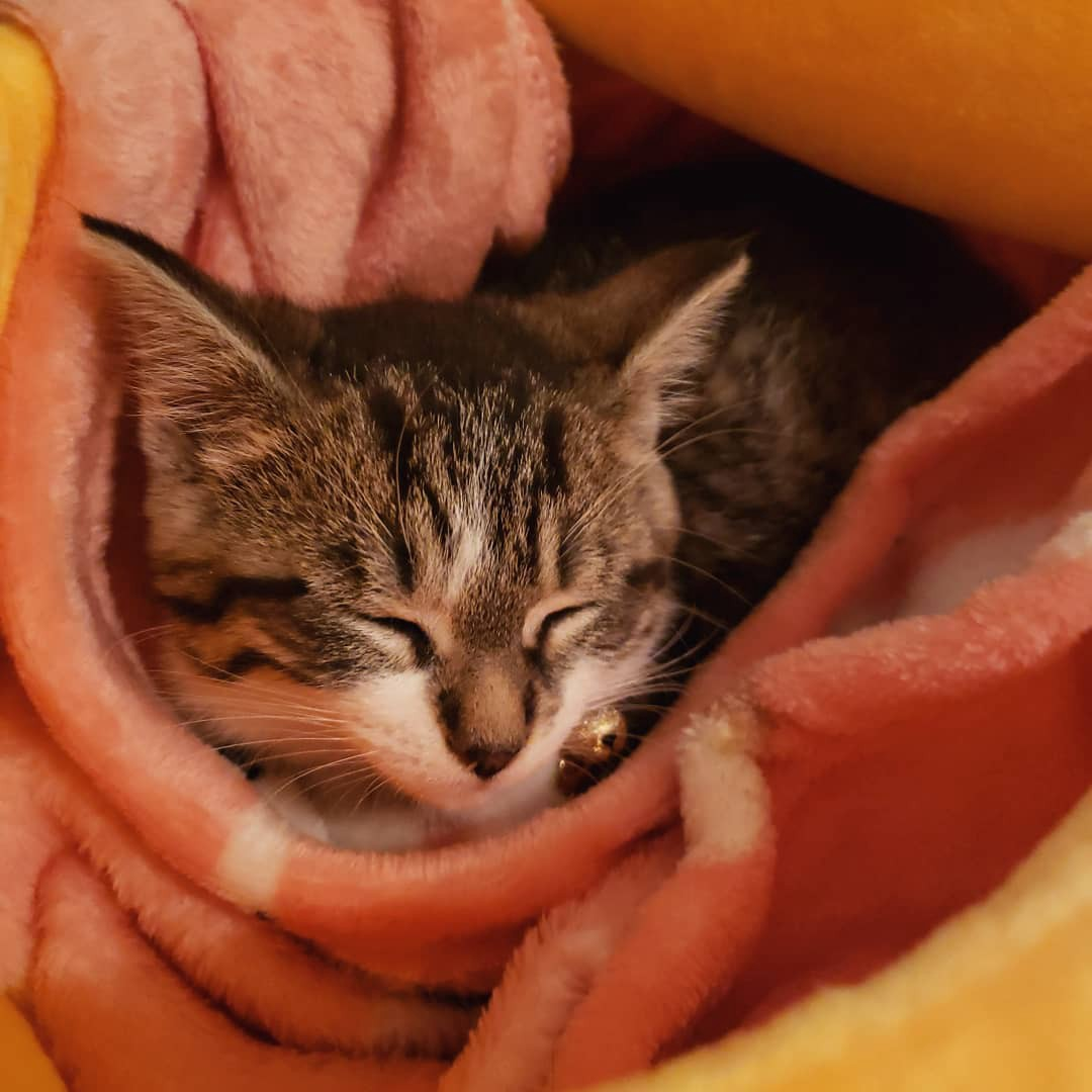 Miso, a black and grey kitten has his eyes closed in a blanket
