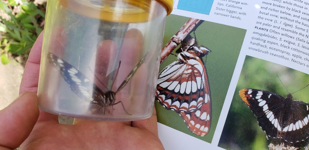 orange, tan and black butterfly in jar in front of guidebook