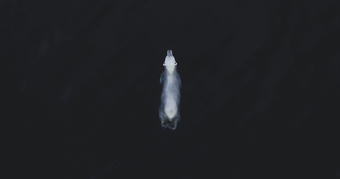 A photo of a polar bear swimming in a deep dark ocean. The polar bear is seen from above; his fur is quite white.