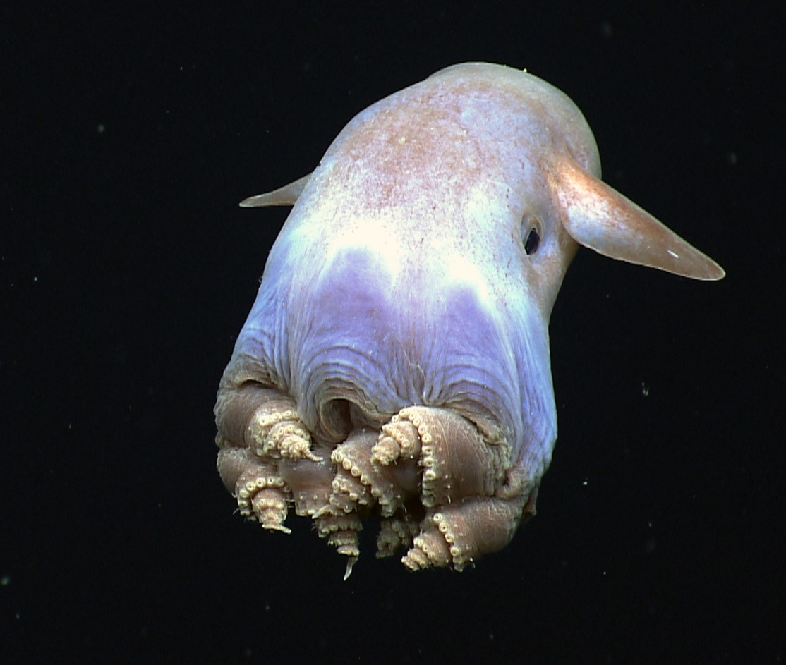 """a bulbous octopus with very short tentacles and floppy """"ears,"""" glowing in somewhat pastel hues"""