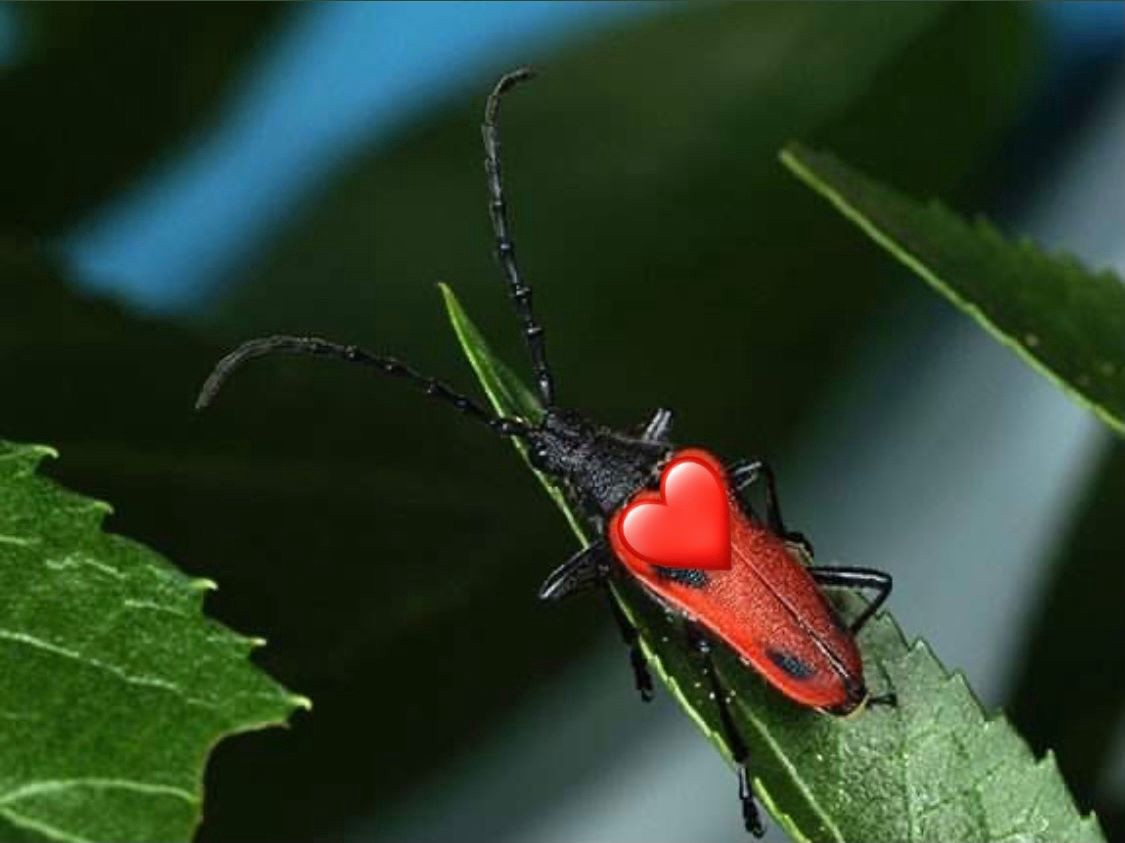 a red and black beetle with a red heart emoji over its body.