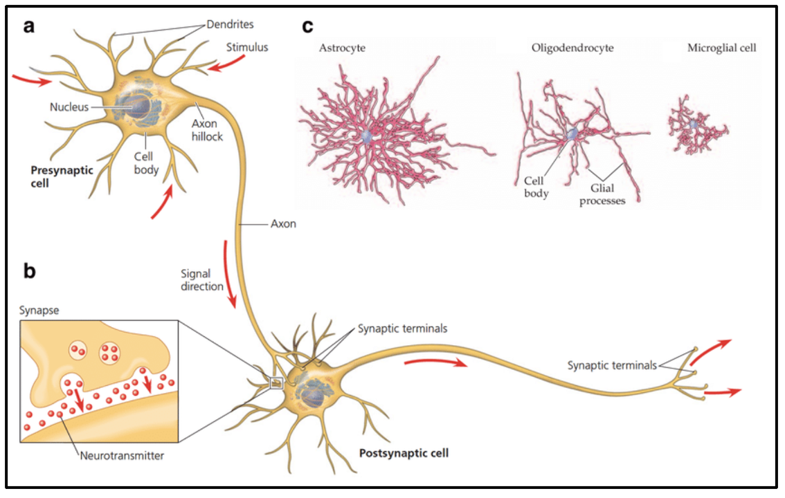 The structure of a neuron (a) and a synapse (b). Apart from neurons, the brain also contains neuroglial cells (c).