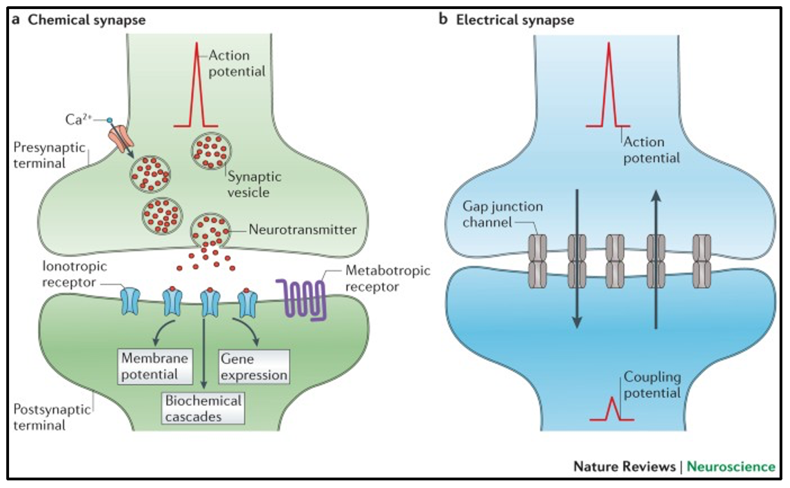 The structure of (a) chemical and (b) electrical synapses.