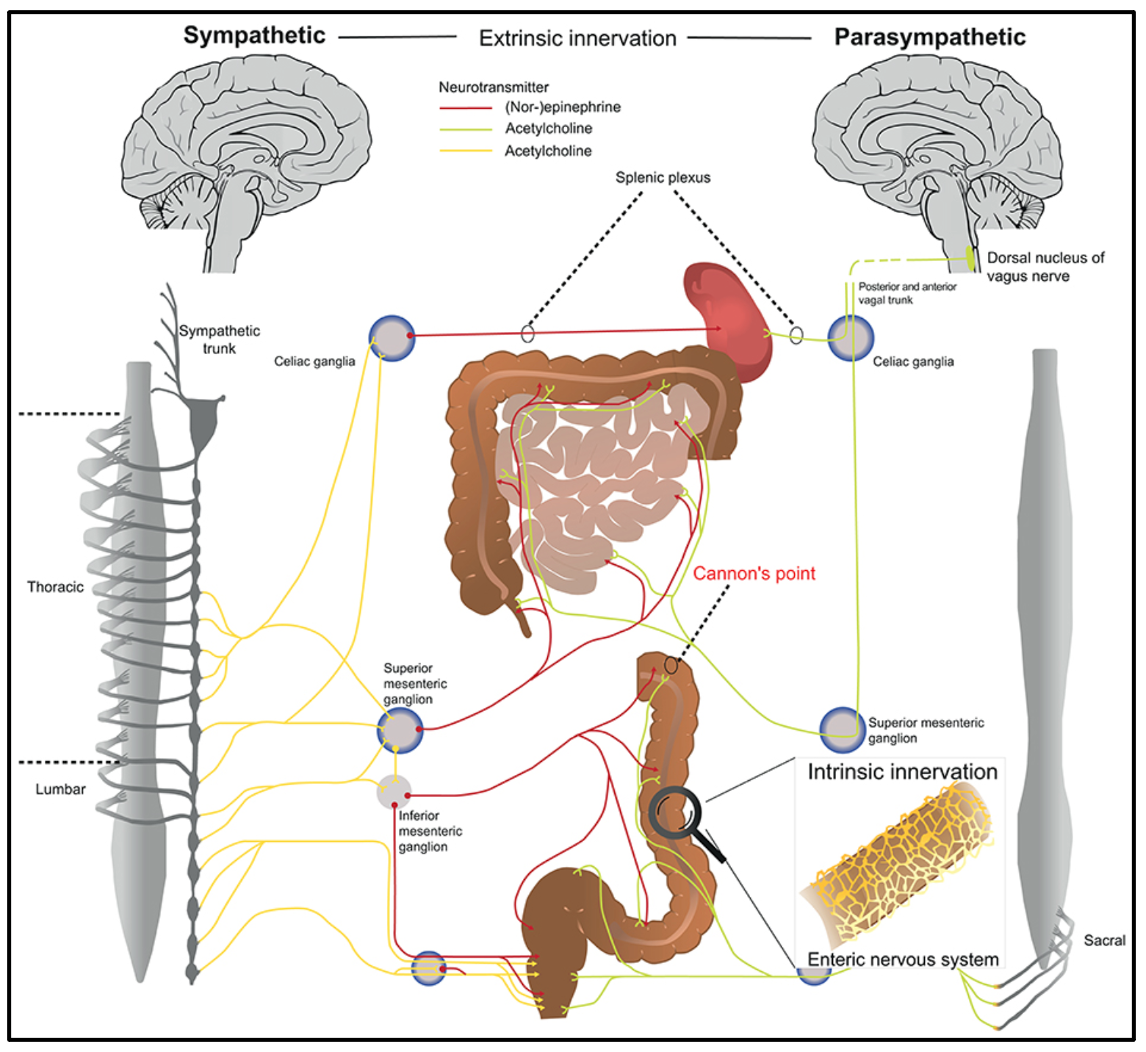 A schematic overview of how the sympathetic and parasympathetic nervous systems connect to the intestines.