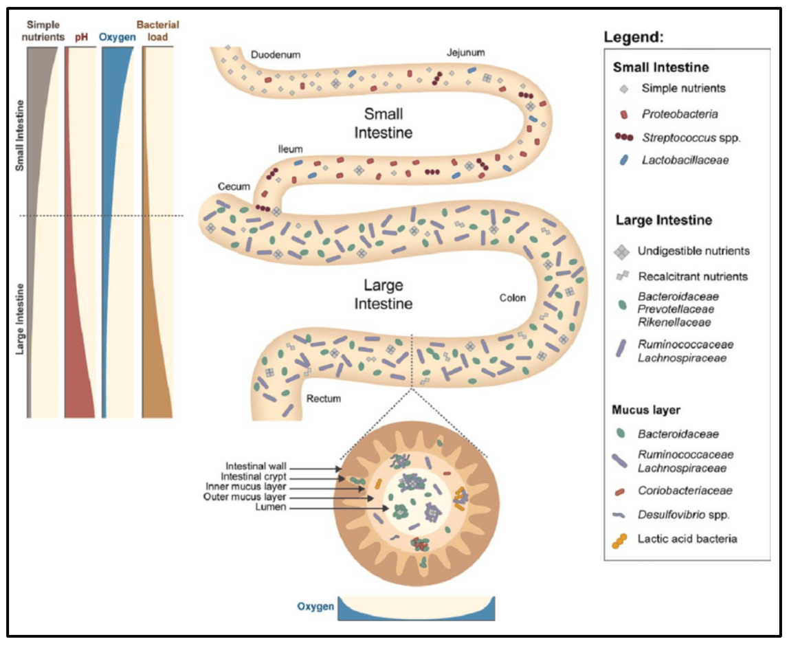 The spatial heterogeneity of microbiota in the intestines.