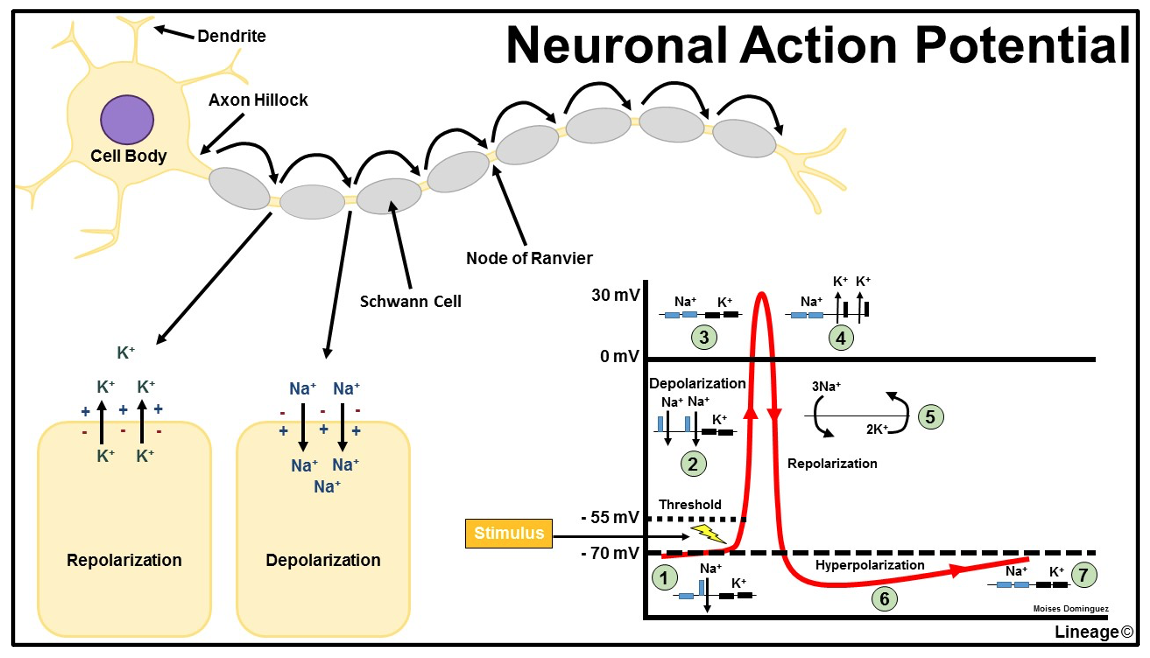 The dynamics of the action potential.