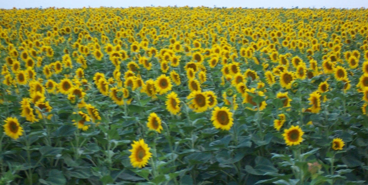 A field of bright yellow sunflowers.
