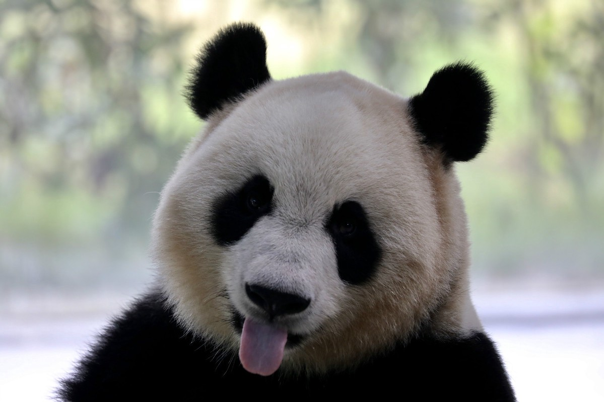 Direct flights to Chengdu - Catch the glimpse of Pandas in