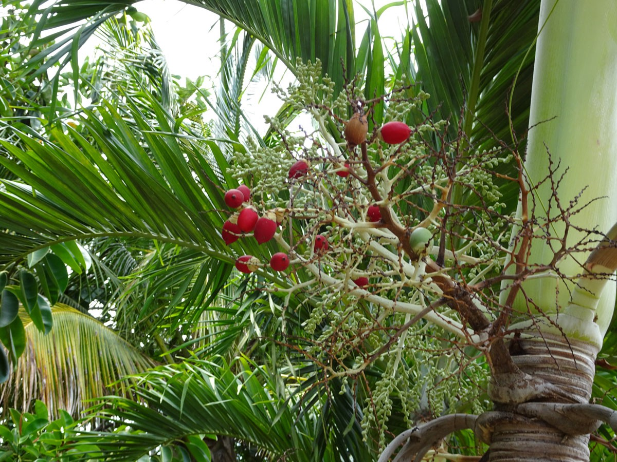 """Adonidia merrillii (""""Christmas Palm"""" or """"mini-royal palm close-up of red seeds with more fronds in the background)"""